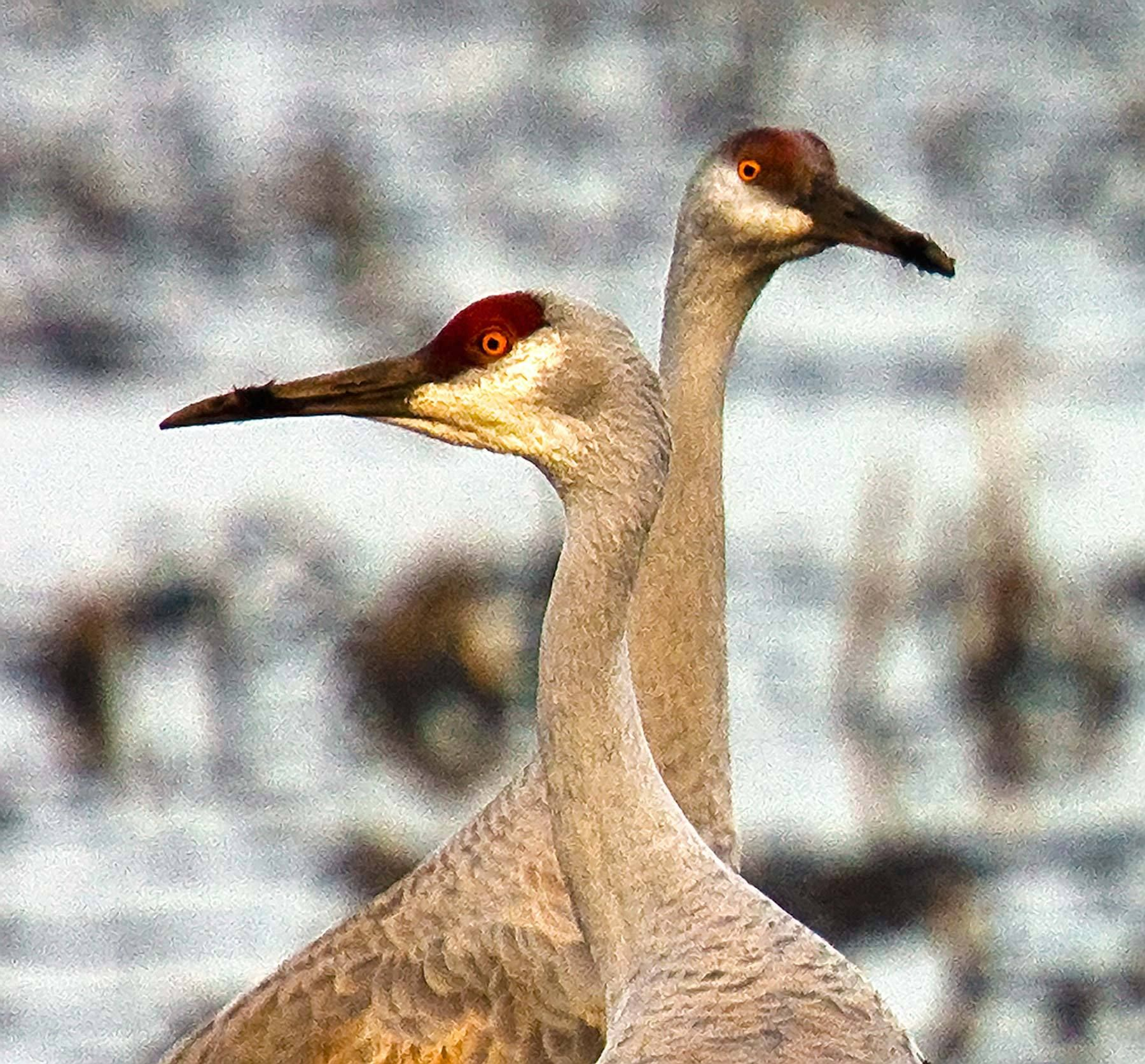 241_1heads_up_sandhill_cranes_isenberg_reserve_california.jpg