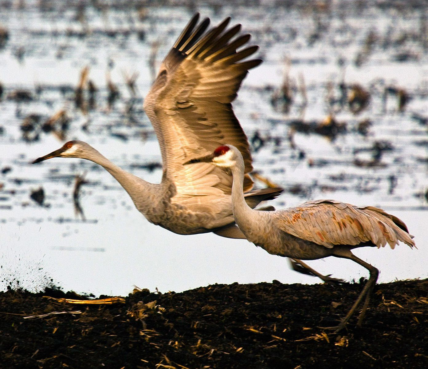 Taking Off II, Sandhill Cranes, Isenberg Rreserve, California