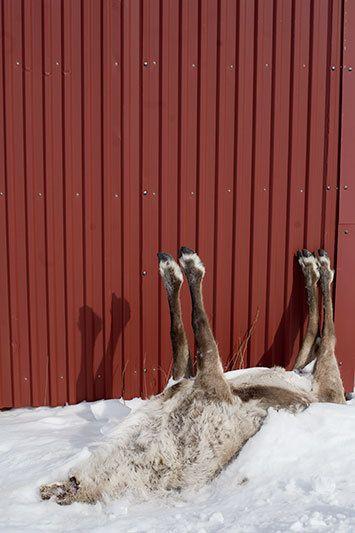 1nm_dead_reindeer_riksgransen.jpg