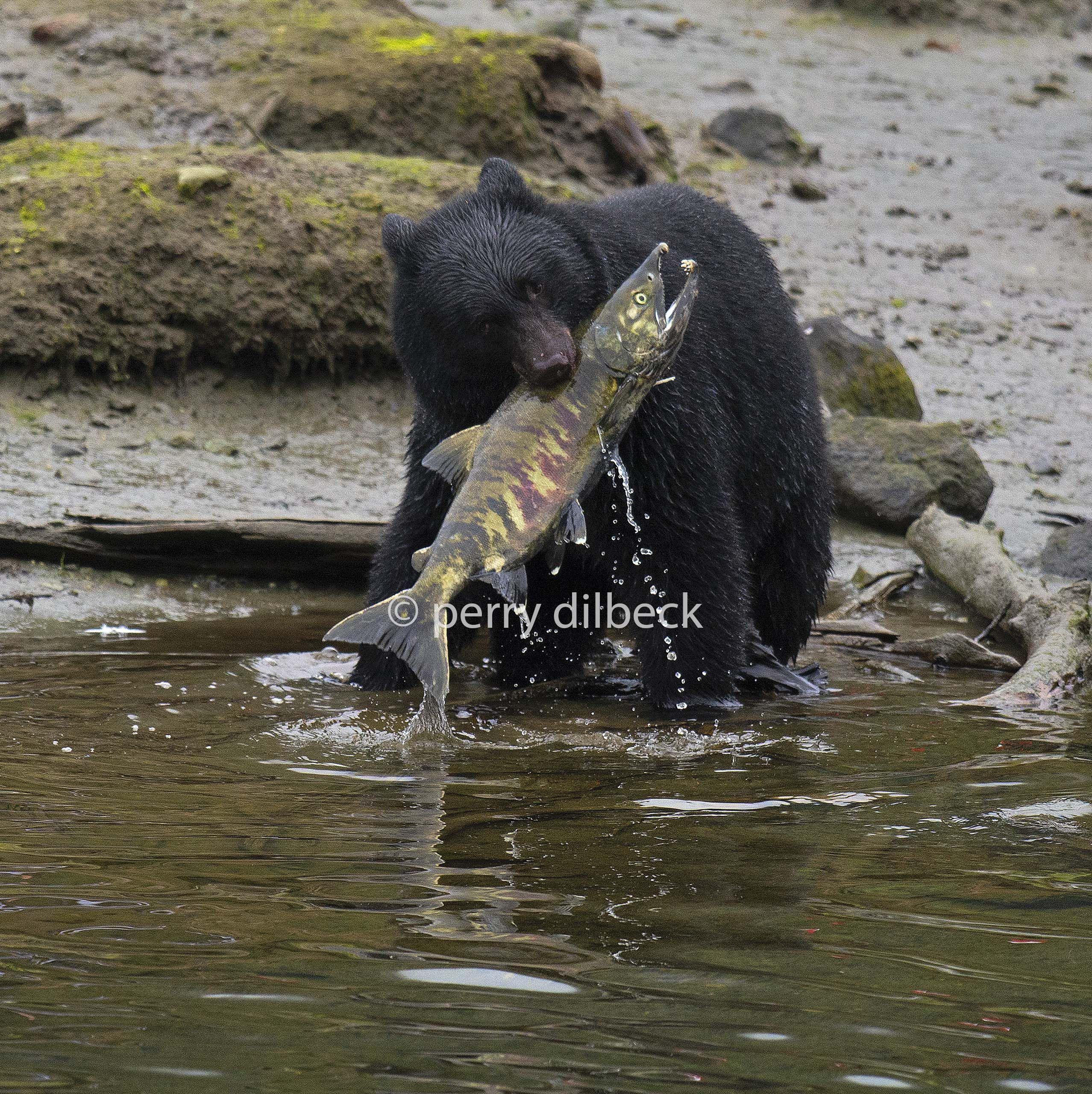 bearfishtopazandsharpen1.jpg
