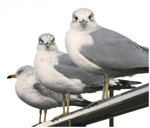 1Seagulls3