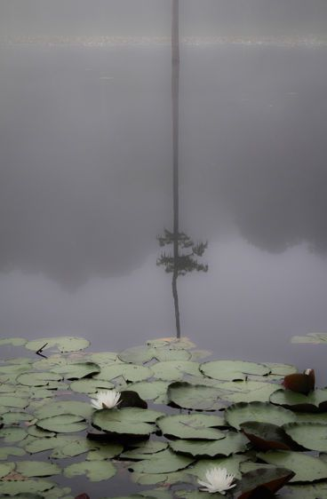 Two Water Lillies  2011