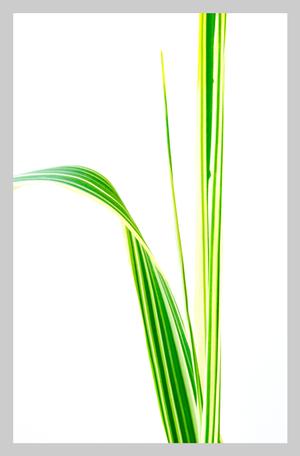 TALL GRASS No. 2