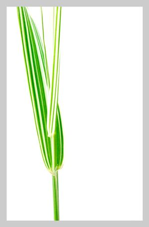 TALL GRASS No. 1