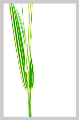 TALL GRASS No. 1