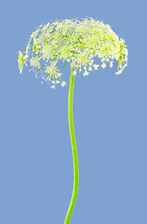 FLOWER WITH STEM LIGHT BLUE