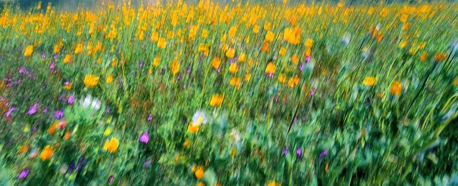 Wildflowers at Anza Borrego desert in Southern California
