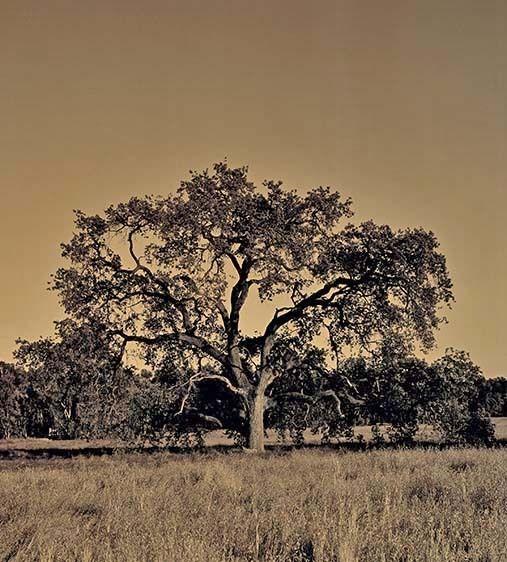 Ojai Oak