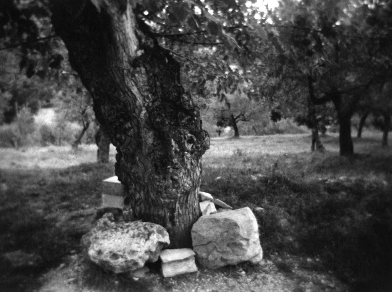 1_olive_tree_in_assisi_copy_copy.jpg