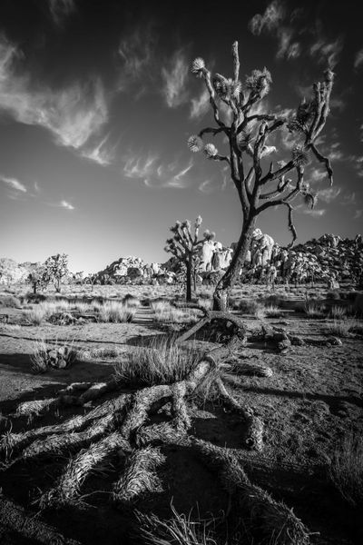1joshuatree_img_8918_dash_20x30