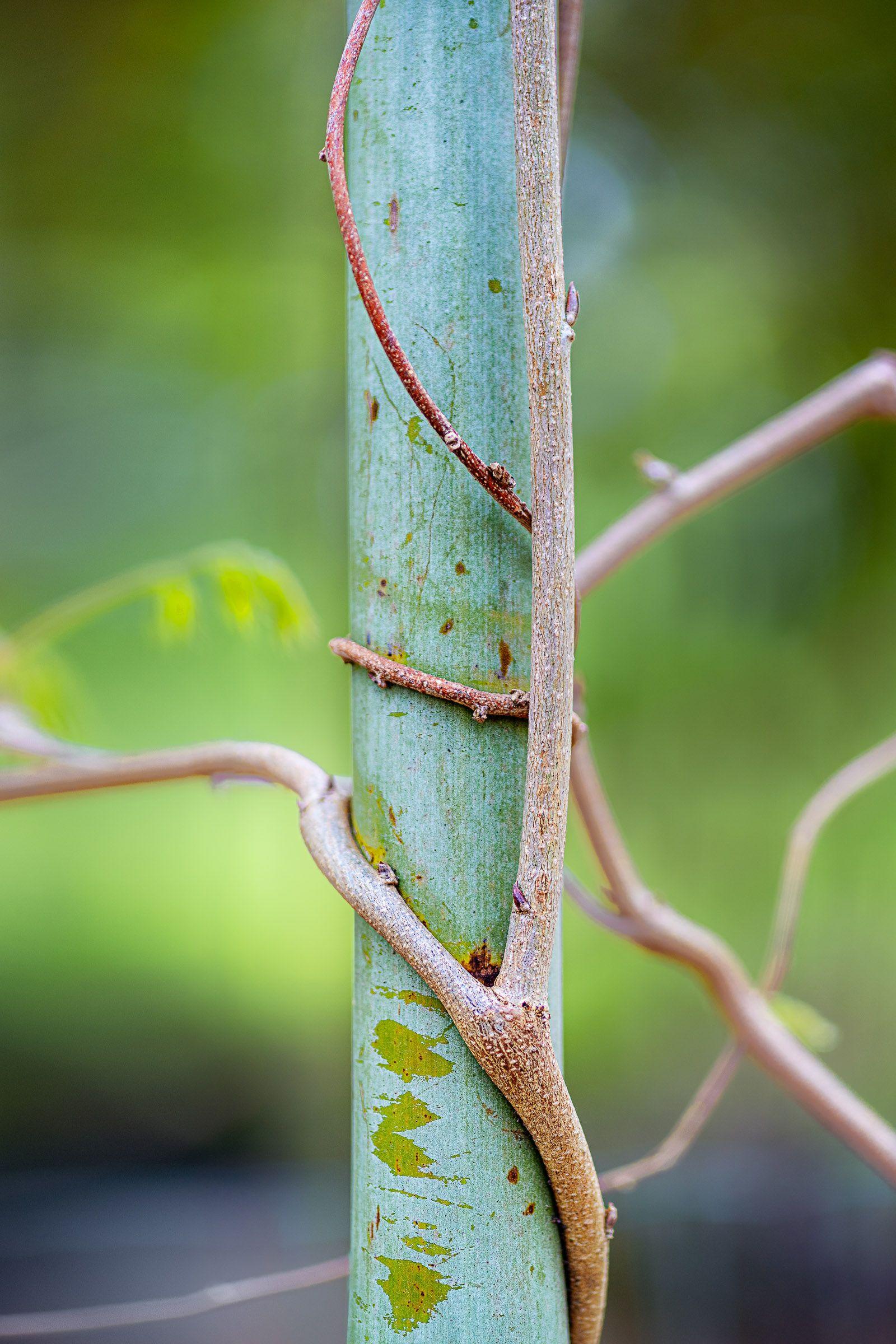 Bamboo Embrace 3648