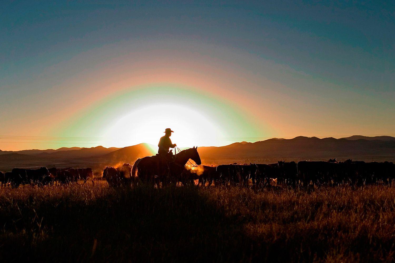 Early morning cattel roundup near Westcliffe Colorado.