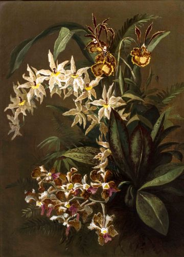 William Anderson Sherwoods Orchids unframed