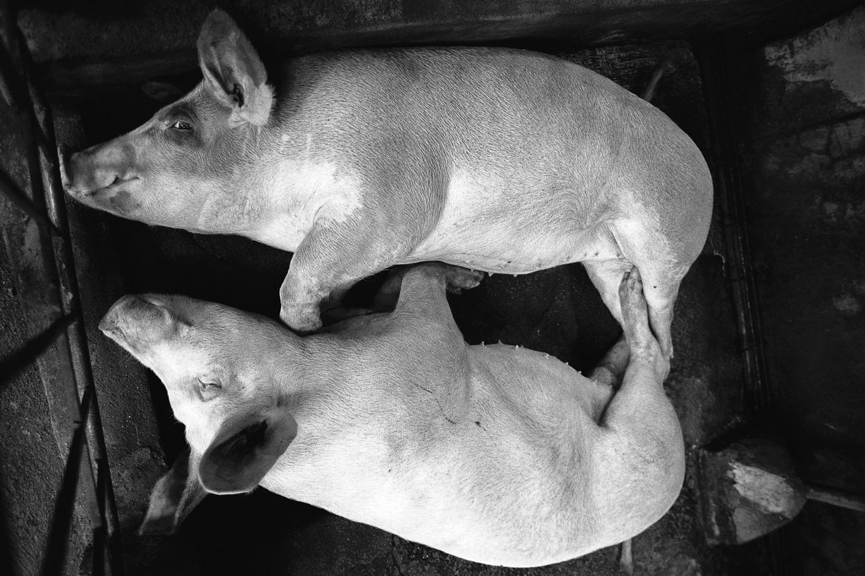 AYUSON_sleeping_pigs_800kb.jpg