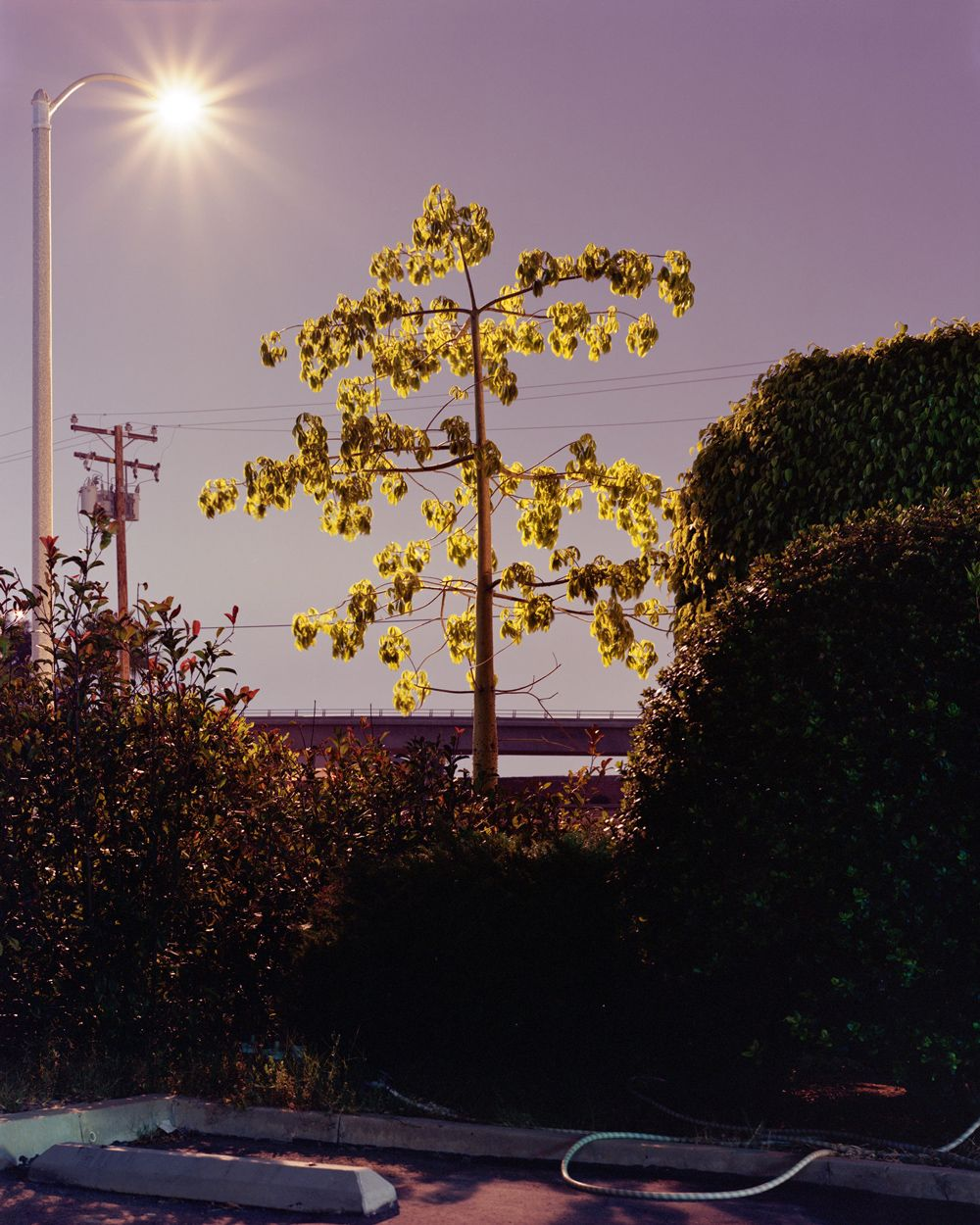 Ayuson_young_tree_Playa_Del_Rey_800kb.jpg