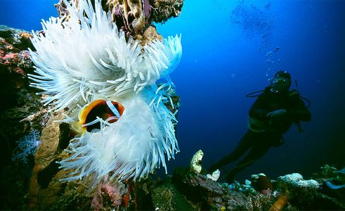 Clown fish in a japanese wreck, Chuuk Lagoon, Islands Magazine