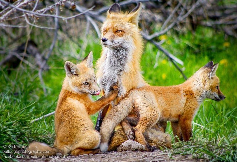 Fox Family 1