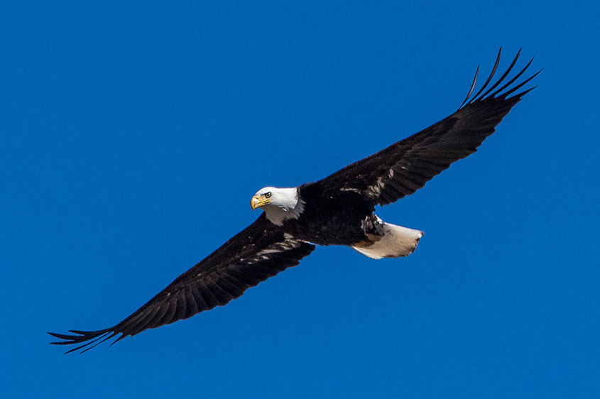 Eagle over Summit County