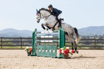 Warmblood Jumper