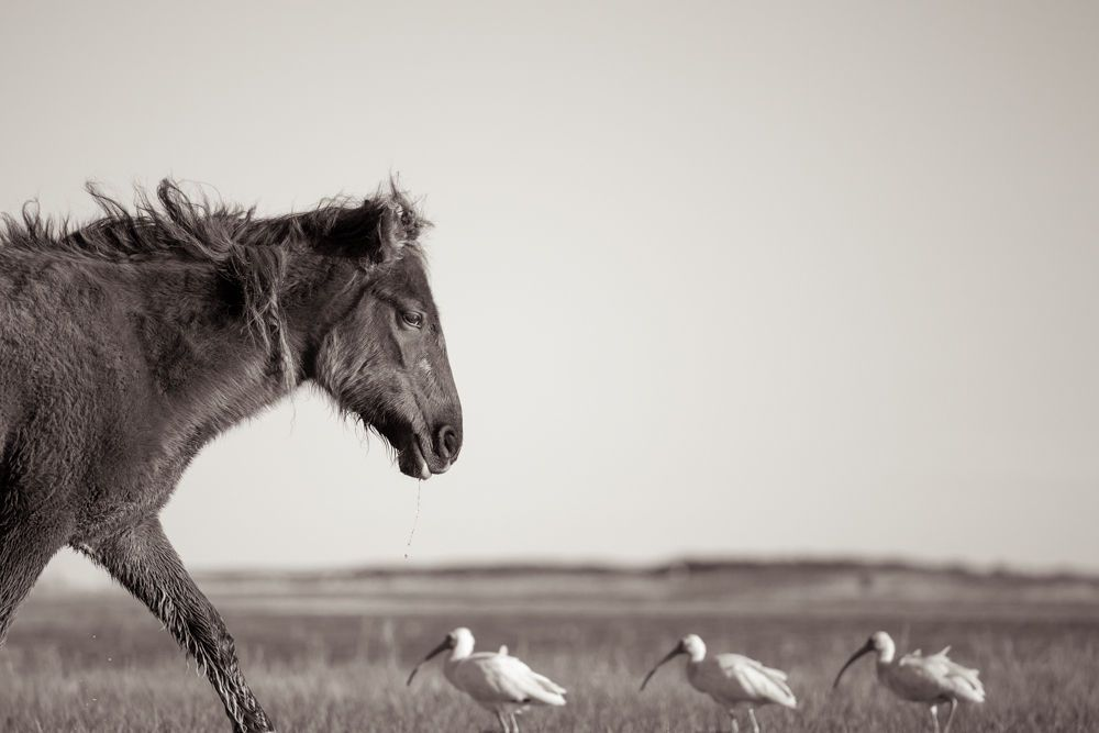 1wild_horses_outerbanks_9.jpg
