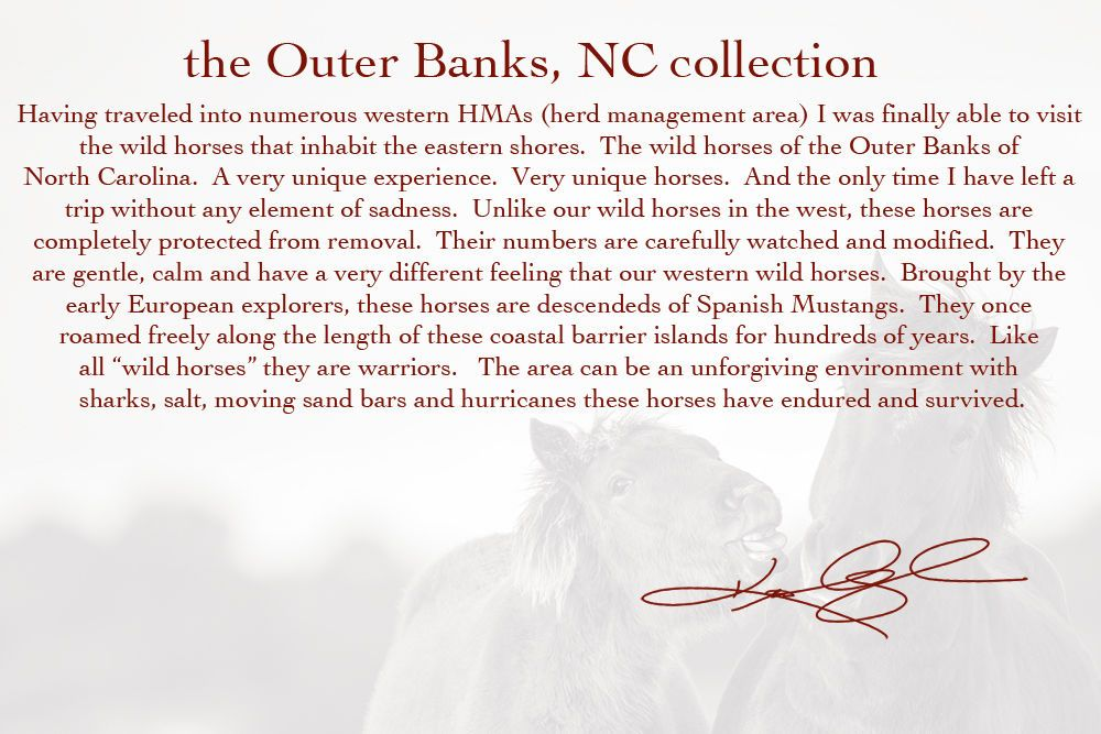 The wild horses of the Outer Banks, North Carolina