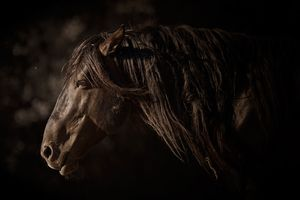 :: SURVIVOR ::Calico Stallion rescued saved and in the care of Return to Freedom, American Wild Horse Sanctuary