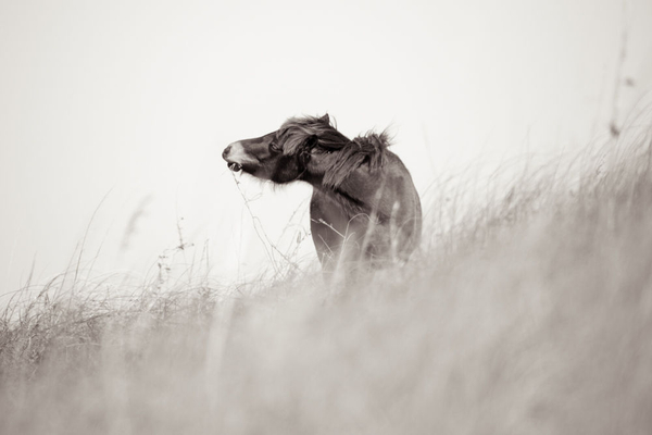 1wild_horses_outerbanks_5.jpg