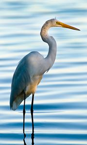 1great_white_egret_w.jpg