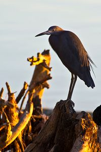 1little_blue_heron_w.jpg