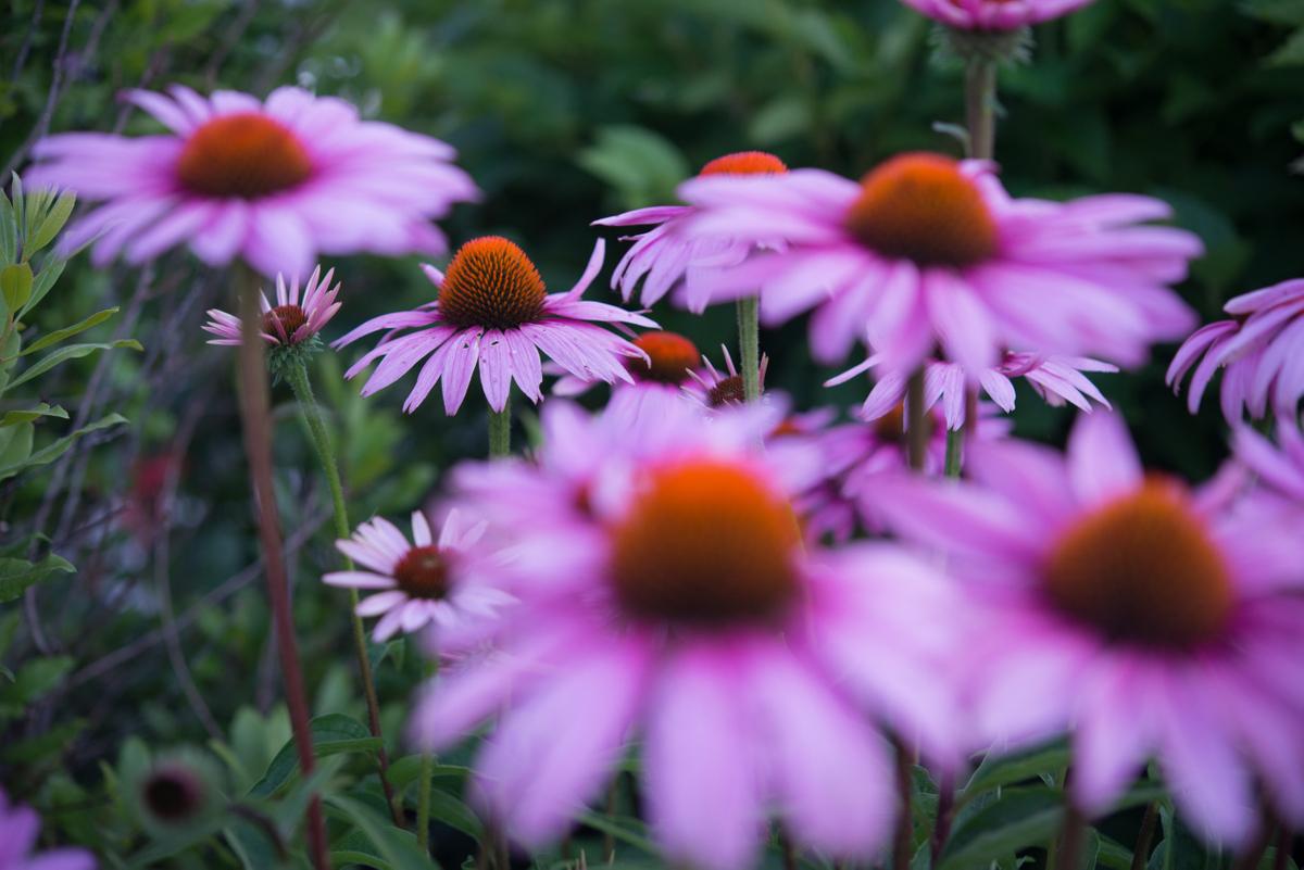 Echinacea flowers #9228