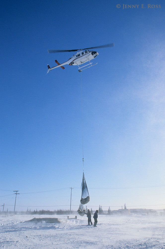 A tranquilized adult female polar bear and her yearling cub are transported by helicopter away from the town of Churchill where they approached an inhabited area too closely while stranded on land during the ice-free season.