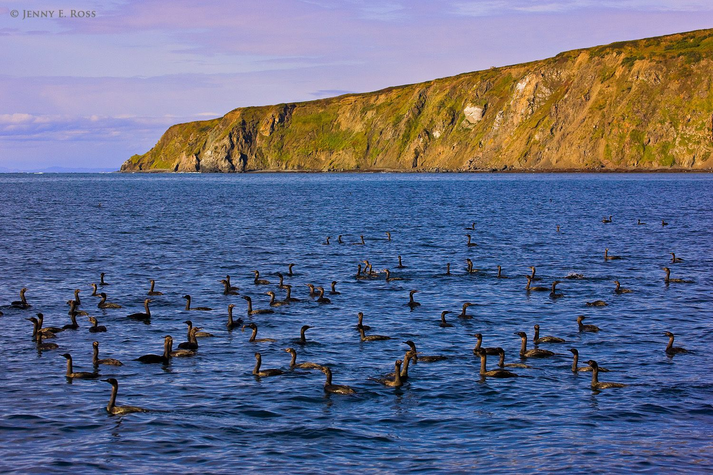 Pelagic cormorants, Verkhoturova Island, Bering Sea, Russia.