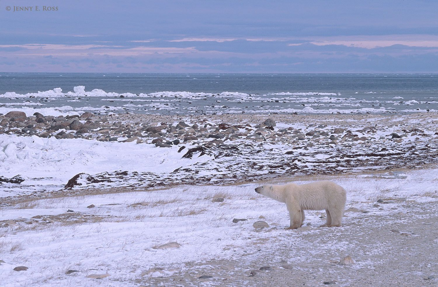 Stranded on land and unable to hunt seals due to a lack of sea ice, an adult female polar bear stares out at the open water of Hudson Bay.