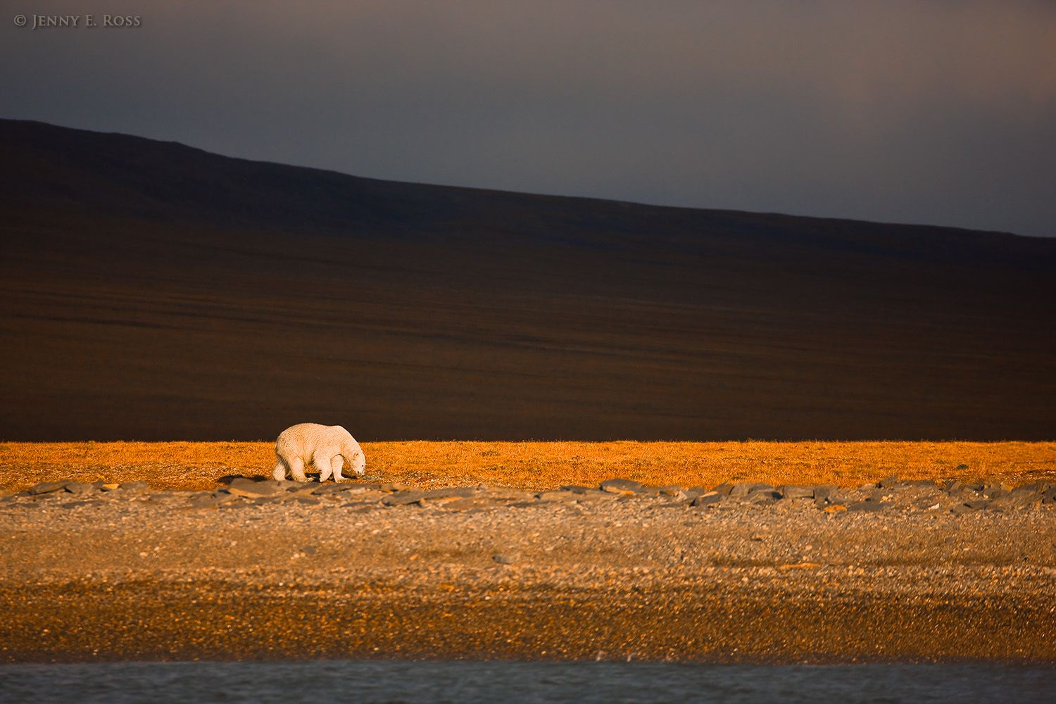 Polar bear at sunset on Wrangel Island, Russian High Arctic.