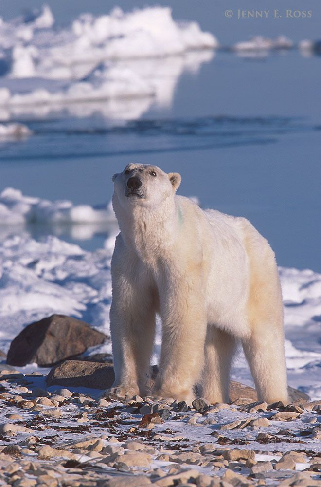 A very skinny adult male polar bear, stranded on land and unable to hunt seals due to lack of sea ice, waits for sea ice to form at the edge of Hudson Bay. The bear had been on land, food-deprived, for several months during the ice-free season.