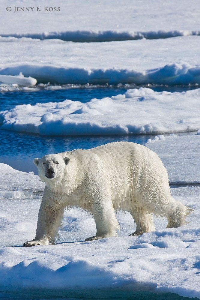 An adult male polar bear (Ursus maritimus) traveling on sea ice.