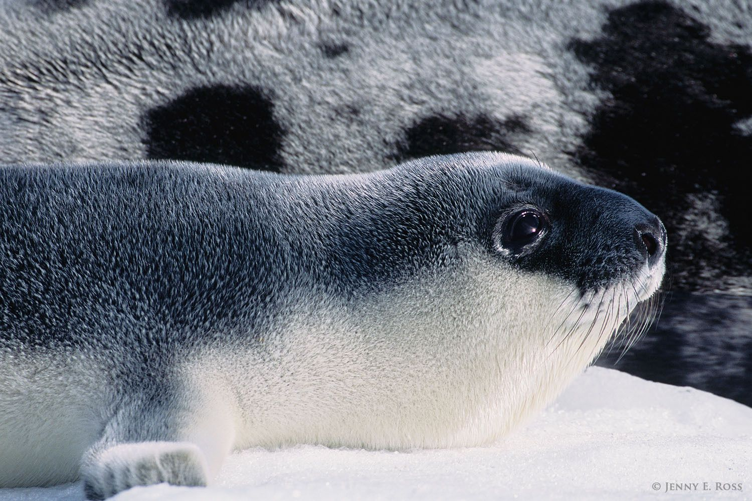 A newborn hooded seal pup (Cystophora cristata) lies next to its mother on the floating sea ice where the pup was born.