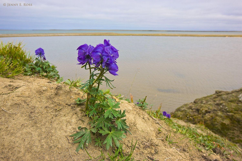Monkshood (Aconitum productum?), Amguema River Estuary, Chukchi Sea, Chukotka, Siberia, Russia