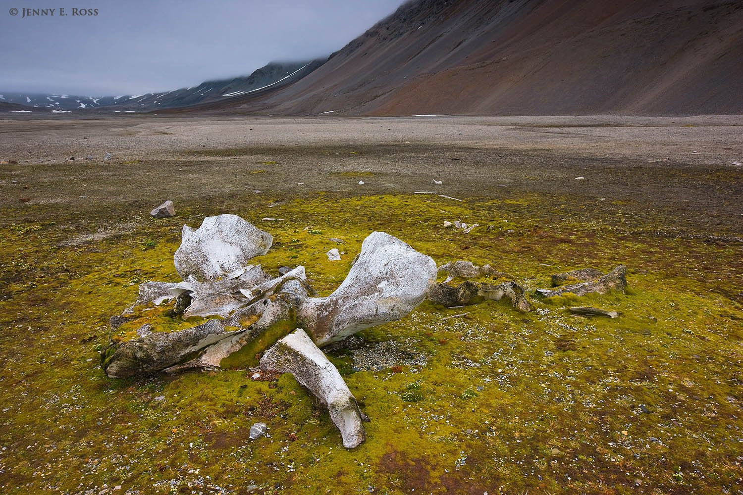 Ancient bowhead whale (Balaena mysticetus) bones slowly decomposing near the remains of a 17th century whaling station at Gashamna in Hornsund on the island of Spitsbergen, Svalbard Archipelago, Norway.
