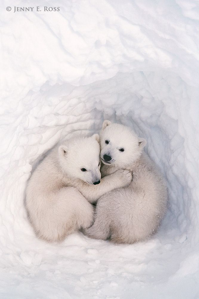 Twin polar bear cubs (Ursus maritimus), about three months old, inside a snow den. Polar bear maternity denning area, Wapusk National Park, Western Hudson Bay, Manitoba, Canada.