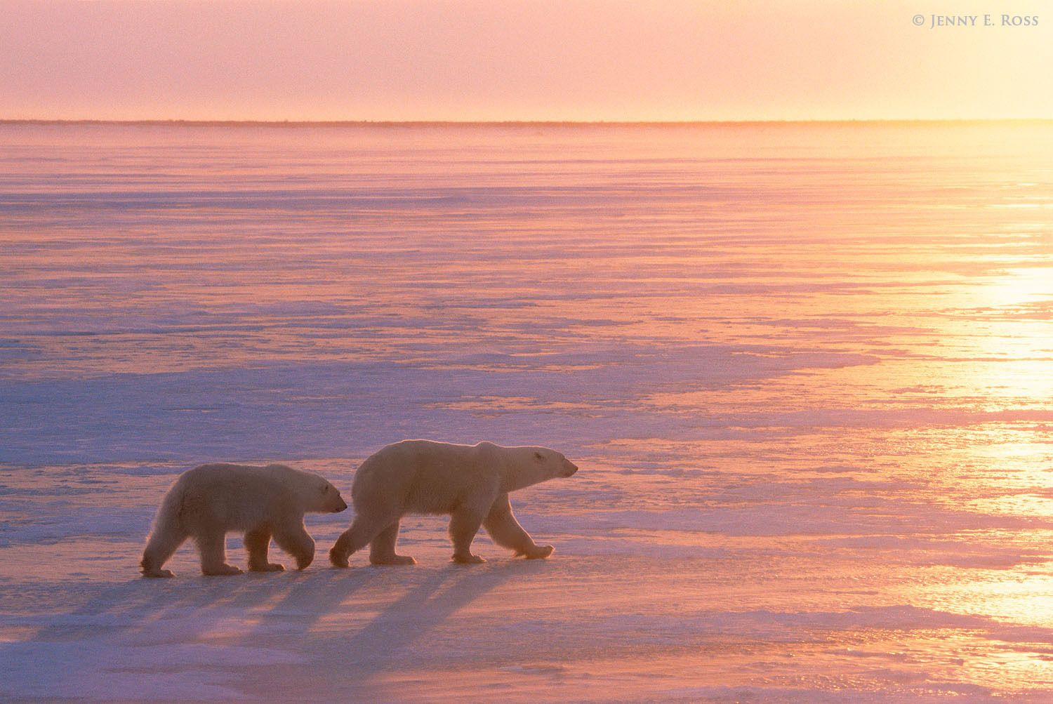 A polar bear mother and her two-year-old cub travel together on the sea ice at sunset.