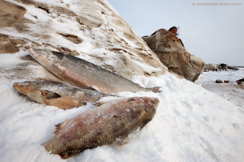 Frozen fish outside a Nenet family's chum.