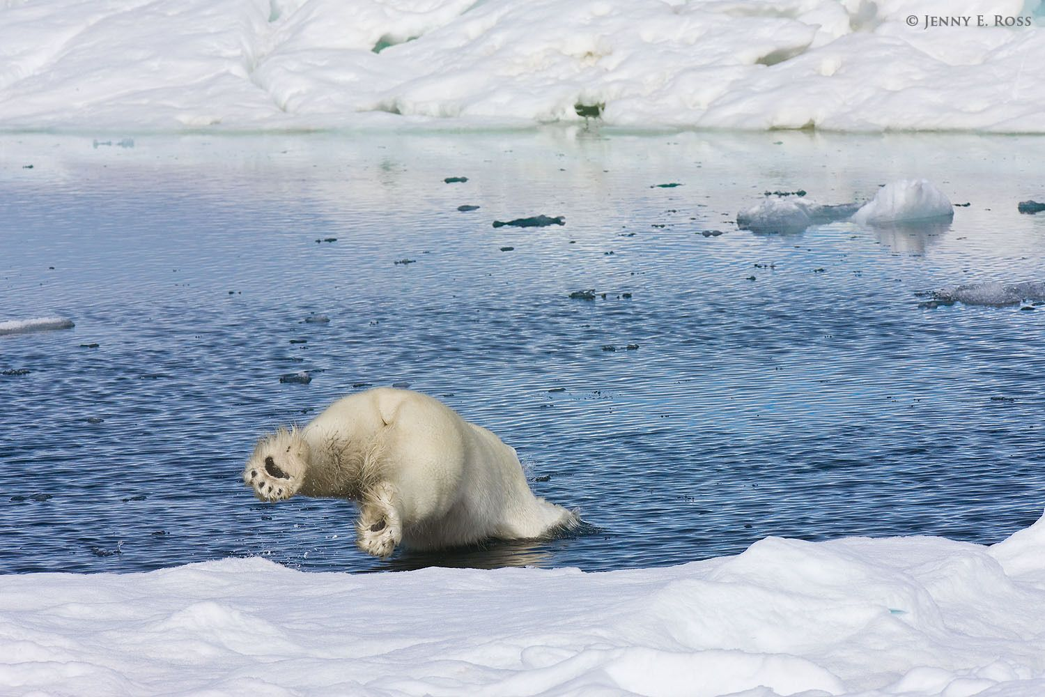 A subadult male polar bear (Ursus maritimus) dives from the edge of the sea ice into an open lead between floes.