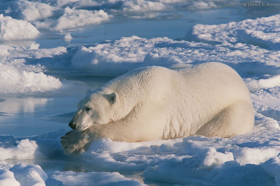 "An adult male polar bear (Ursus maritimus) lies on sea ice while ""still-hunting"" -- waiting for an opportunity to grab a seal as it surfaces to breathe."