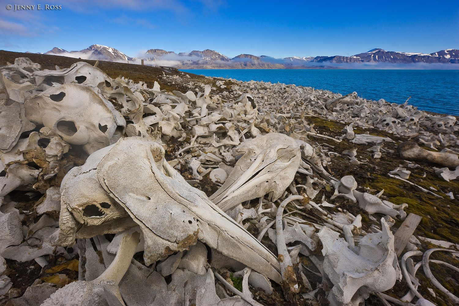 Piles of Beluga Whale bones (Delphinapterus leucas) on the beach at Ahlstrandodden in Bellsund, on the island of Spitsbergen in the Svalbard Archipelago, Norway.