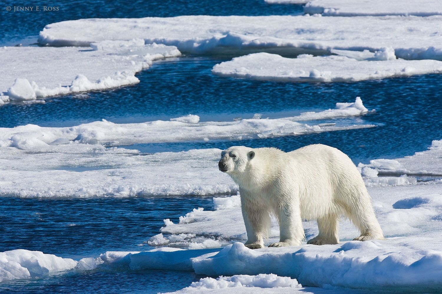 Adult male polar bear (Ursus maritimus) on sea ice next to an open lead.