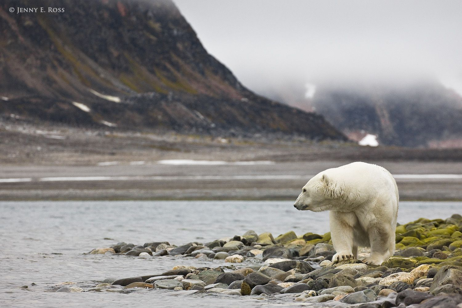 A large adult female polar bear gazes out at the sea while stranded ashore due to lack of sea ice.