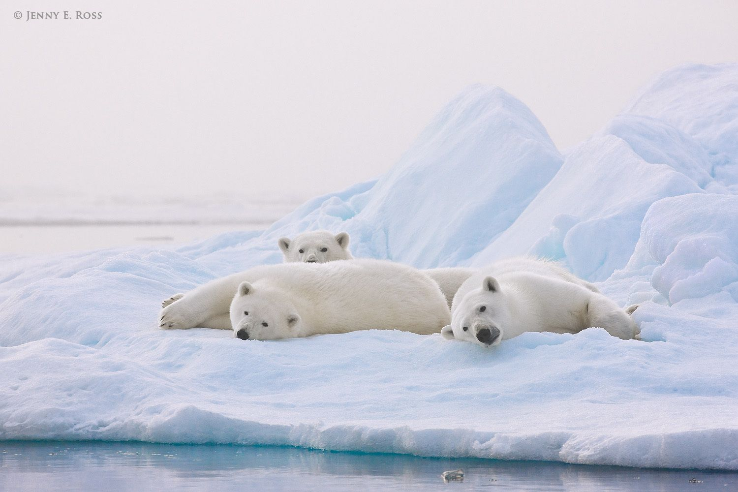 A polar bear mother and her twin two-year-old cubs resting on a floe of sea ice in heavy fog at twilight.