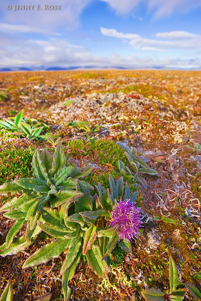 Tundra Wildlflower, Wrangel Island, Russian High Arctic.