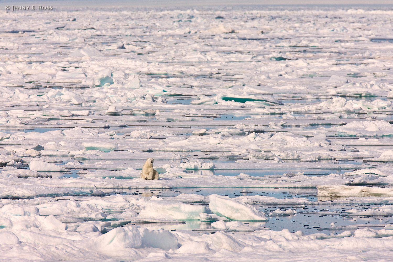 Polar bear resting on melting Arctic sea ice in summer.